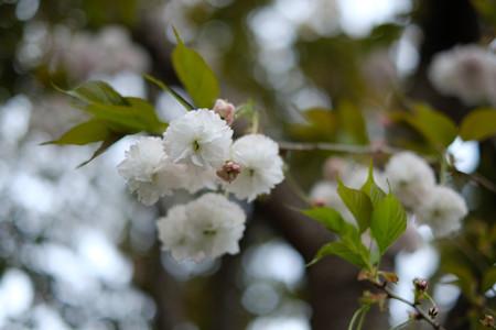 八重桜_XF35mmf1.4R-6583