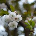 Photos: 八重桜_XF35mmf1.4R-6583