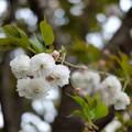 Photos: 八重桜_XF35mmf2R-6584