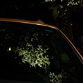 夜桜-4012
