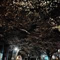 夜桜-4009