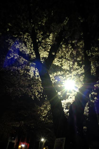 夜桜-7463