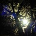 Photos: 夜桜-7463