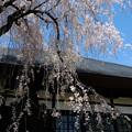 しだれ桜-7626
