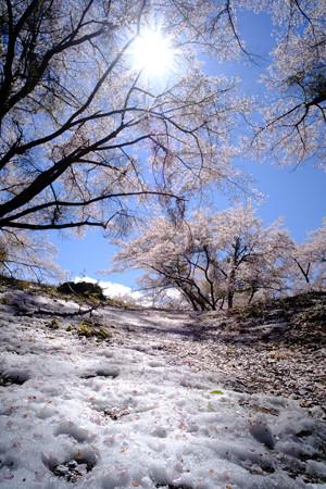 新府城_雪と桜-8911