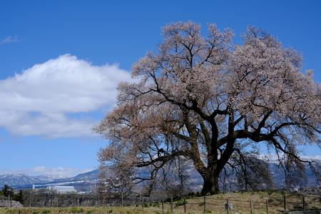 わに塚の桜-8844