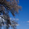 わに塚の桜-8846