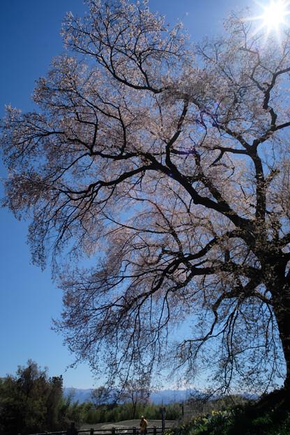 わに塚の桜-8852