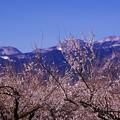 雪残る箱根の山々と小田原曽我梅林・・咲き始めて