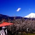 和傘と真っ白な雪積もった富士山と曽我の梅・・