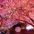 夜遅くなって雨が。。降るライトアップされた河津桜。。