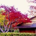 Photos: 東屋の紅葉。。真っ赤 昭和記念公園の日本庭園20151115