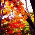 Photos: 昭和記念公園の日本庭園 赤な紅葉 20151115