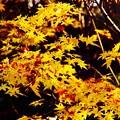 Photos: 昭和記念公園の日本庭園 黄色な紅葉 20151115