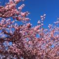 撮って出し。。伊豆河津町の河津桜満開。。2月21日
