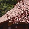撮って出し。。江戸東京たてもの園へ日本民家と梅。。3月13日