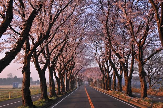 Photos: 早朝の海軍道路・・人も車も少くない 桜並木 20150331