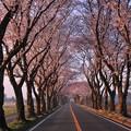 早朝の海軍道路・・人も車も少くない 桜並木 20150331