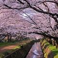 Photos: 厚木基地にも近い引地川の桜並木・・20150331
