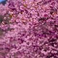 今年の伊豆河津町の河津桜。。いい色の河津桜 20160221