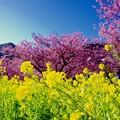 伊豆河津町 青い空とピンクの河津桜と黄色い菜の花。。20160221