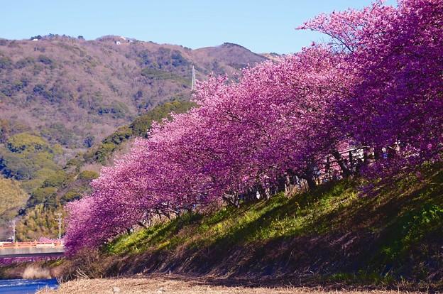 Photos: 伊豆河津町を上流へ歩いて。。河川沿いに咲く河津町 20160221