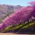 伊豆河津町を上流へ歩いて。。河川沿いに咲く河津町 20160221