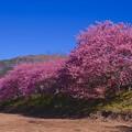 伊豆河津川河川沿いに濃淡な河津桜咲く。。20160221