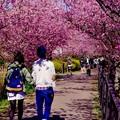 河津桜のトンネルへ。。20160221