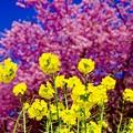 黄色い菜の花と河津桜。。20160221