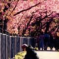 河津町の河津桜散策風景。。20160221
