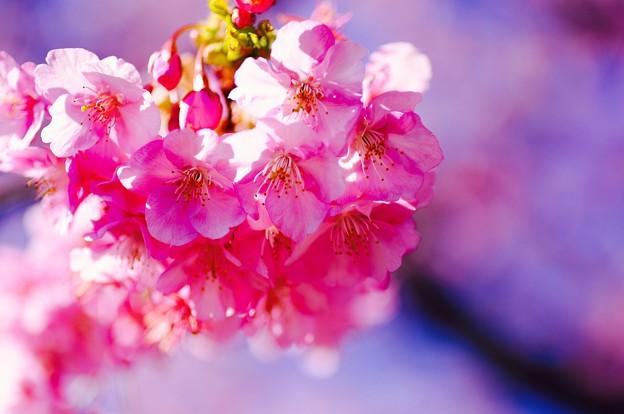 Photos: 優しいピンクな伊豆河津町の河津桜。。20160221