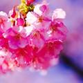 優しいピンクな伊豆河津町の河津桜。。20160221