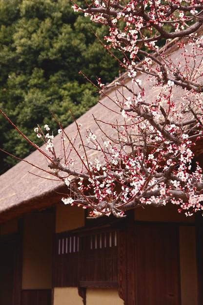 日本民家で咲く梅。。春へ。。江戸東京たてもの園 20160313