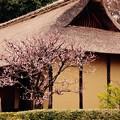 Photos: 日本民家に咲く梅。。江戸東京たてもの園 20160313