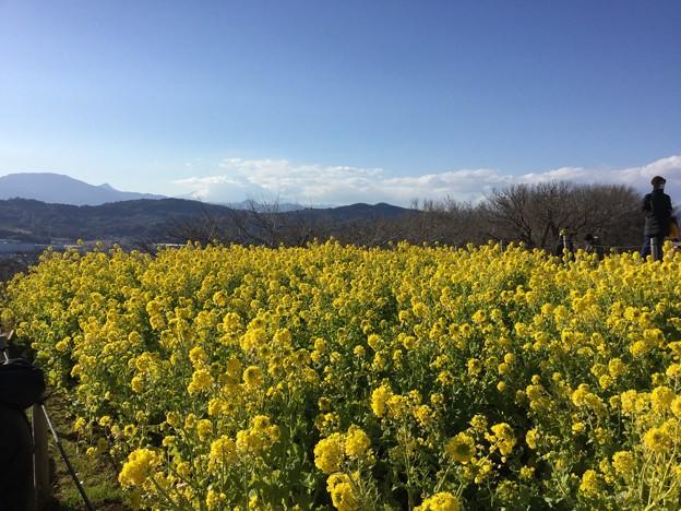 撮って出し。。少し早め春かな。。菜の花満開 2月4日