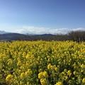 写真: 撮って出し。。少し早め春かな。。菜の花満開 2月4日