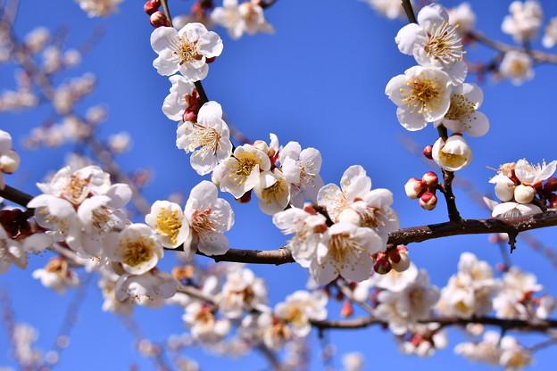 撮って出し。。曽我梅林の早咲きの梅 2月11日