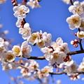 写真: 撮って出し。。曽我梅林の早咲きの梅 2月11日
