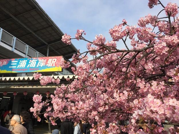 撮って出し。。満開見頃になった三浦海岸桜まつり 2月25日