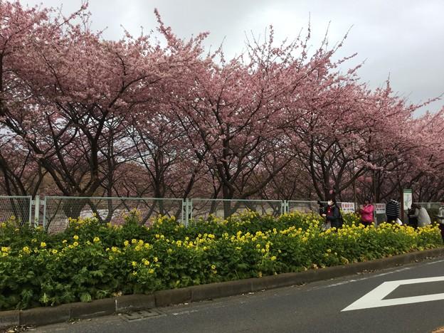 撮って出し。。三浦の河津桜と菜の花沿道で撮影 2月25日