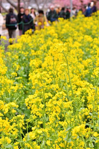 撮って出し。。伊豆河津町の菜の花も咲き 3月6日