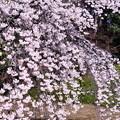 写真: 撮って出し。。小石川後楽園の桜も満開へ。。都会のオアシス 3月25日