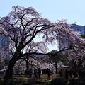 写真: 撮って出し。。小石川後楽園の枝垂れ桜 都会の真ん中で桜 3月25日