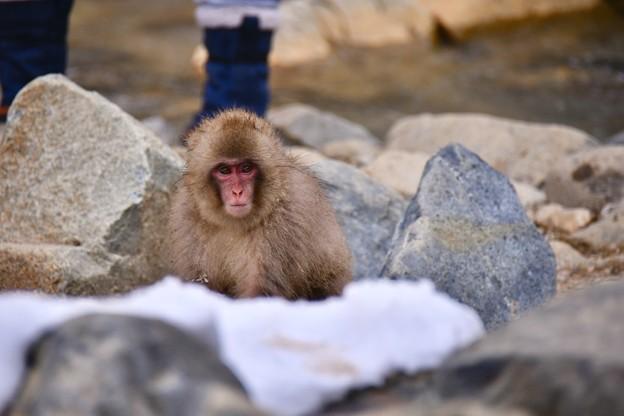 野猿公苑のお猿さん(2)。。可愛い子猿さん  20180203