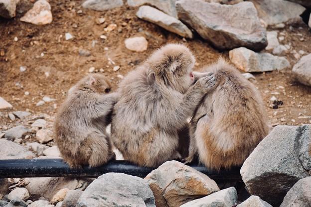 野猿公苑のお猿さん(3)。。 家族でノミ取り?(^^) 20180203