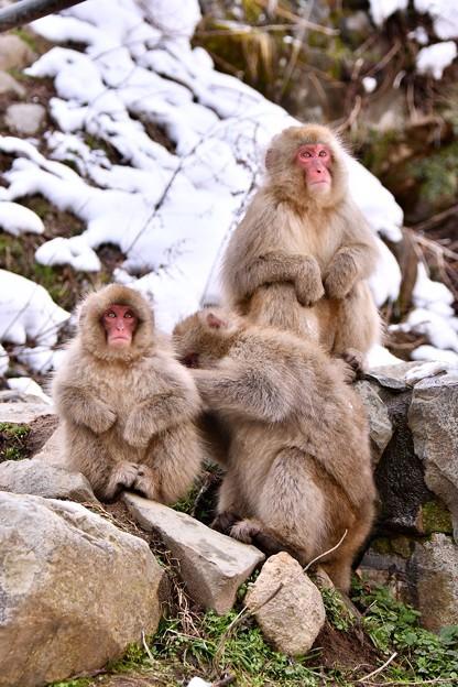 野猿公苑のお猿さん(5)。。家族かな(^^) 20180203