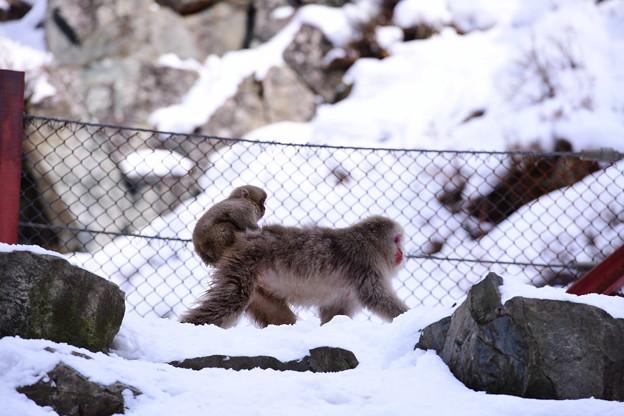 子猿の移動手段。。(^^) 野猿公苑 20180203