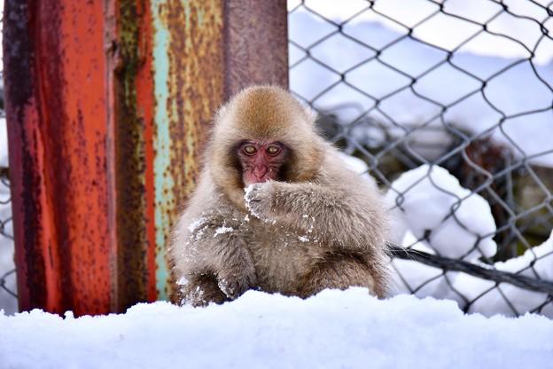 可愛い子猿のお食事。。野猿公苑 20180203