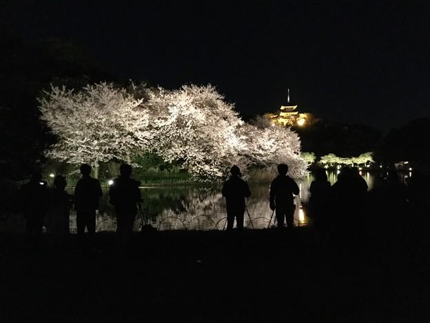 撮って出し。。横浜三渓園ライトアップされた夜桜 3月30日